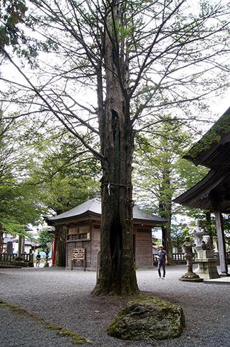 160906忍草浅間神社イチイ⑧