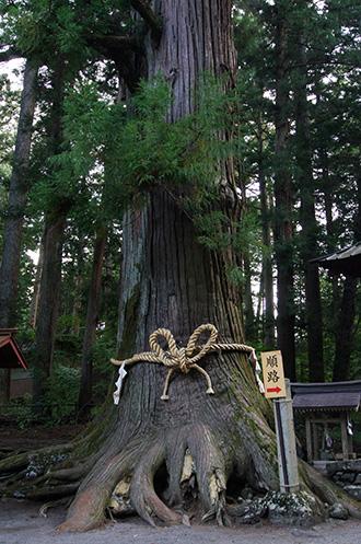 160906上吉田諏訪神社杉①