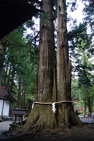 160906上吉田諏訪神社杉②