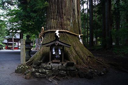 160906上吉田諏訪神社杉④
