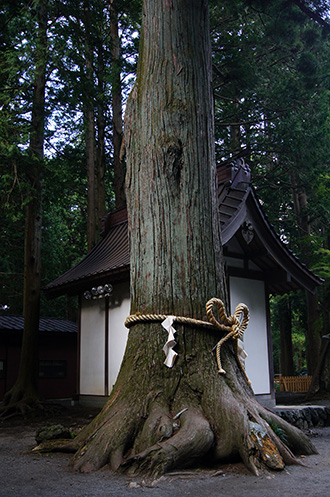 160906上吉田諏訪神社杉⑤