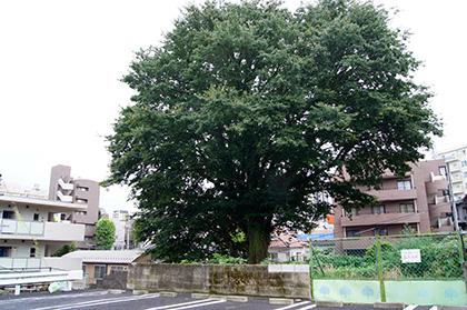 160918東京弁天町のエノキ③