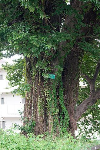 160918東京弁天町のエノキ⑥