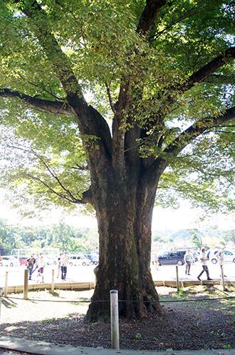 161002吉田小学校の大欅⑥
