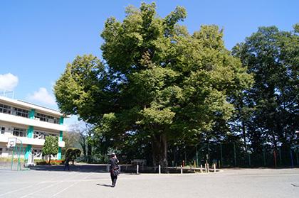 161002吉田小学校の大欅②