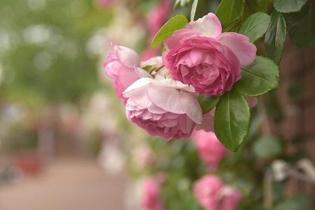 オランダのバラ