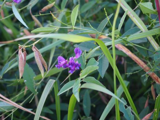 20161103・夕焼け狭山湖植物11・ナンテンハギ