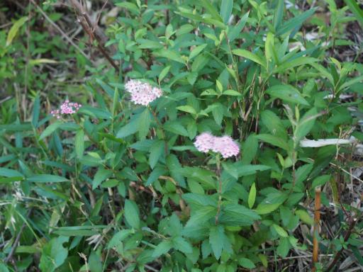 20161103・夕焼け狭山湖植物14・シロバナシモツケソウ
