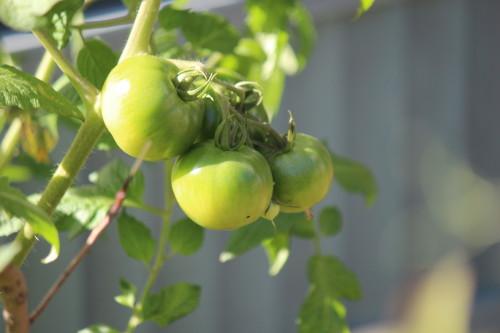 トマト0001