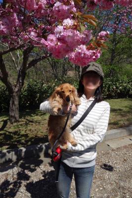 2016年5月八重桜と私の1