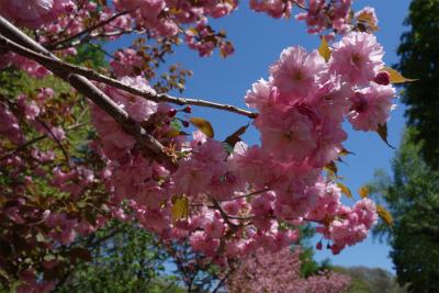 2016年5月八重桜