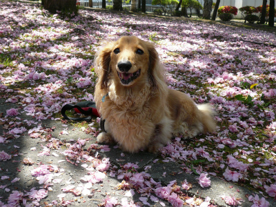 2016年5月八重桜の絨毯