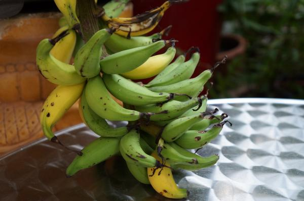 garden banana