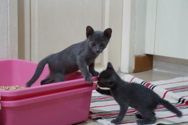 korat cat kitten 5