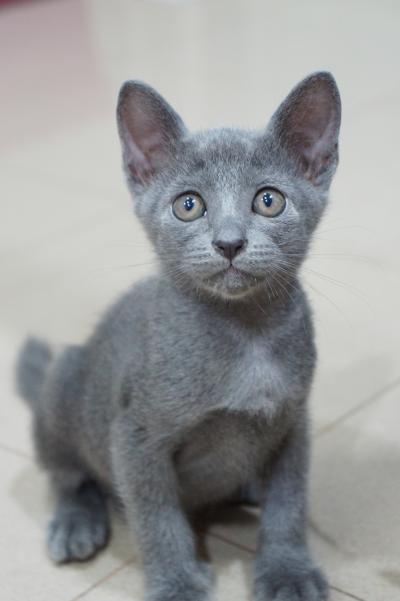 korat cat kitten 3
