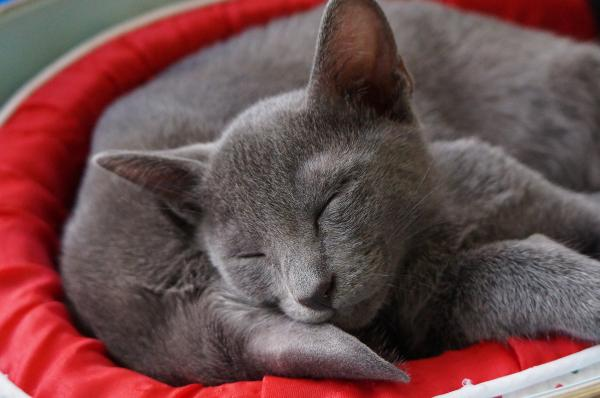 korat cat kitten 1