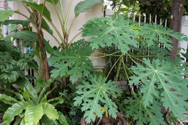 garden papaya
