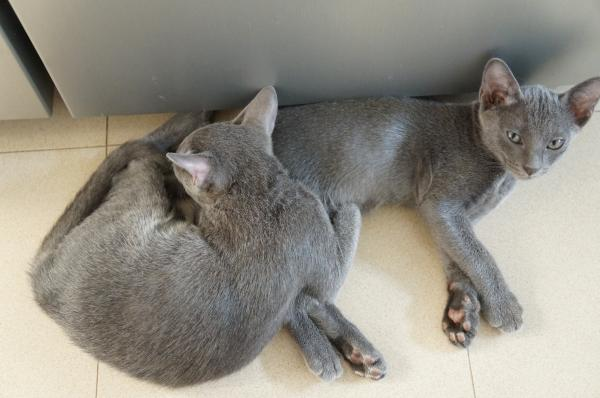 kitten korat cat 3