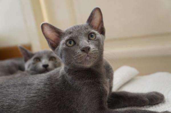 kitten korat cat 1