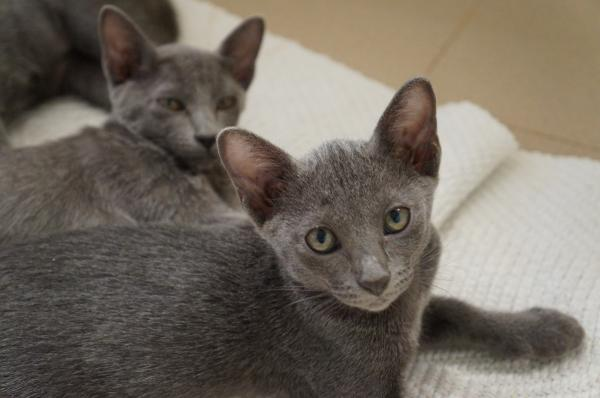 kitten korat cat 2