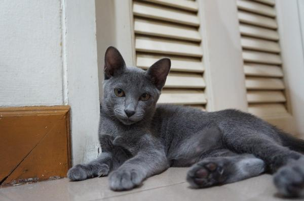 kitten korat cat 6