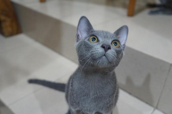 kitten korat cat 1