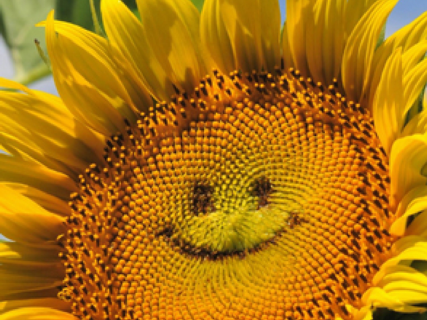 sunflower-smiley-face-1a2.jpg
