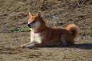 CSC_0409柴犬1