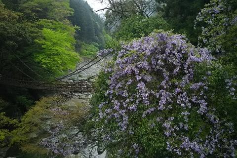 藤の花咲く蔓橋