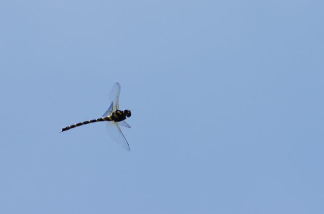 s-オニヤンマ飛翔♀