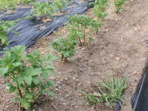 500畑と雑草160422001