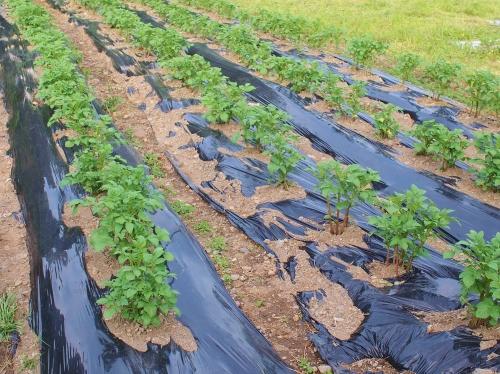 500畑と雑草160422002