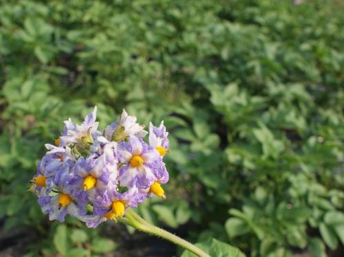 500ジャガイモの花160515