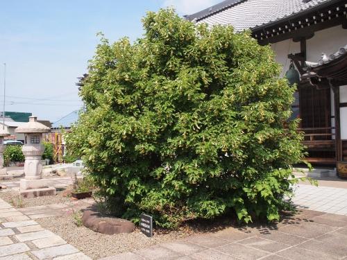 500菩提樹1606063