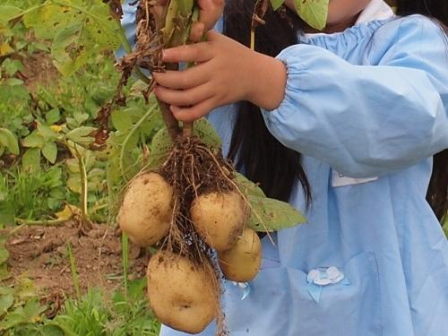 500ジャガイモの収穫16060903