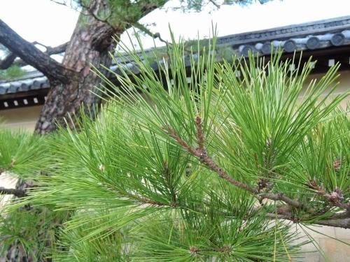 500妙心寺の松を見て5
