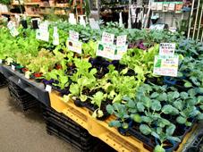 秋植え野菜売り場