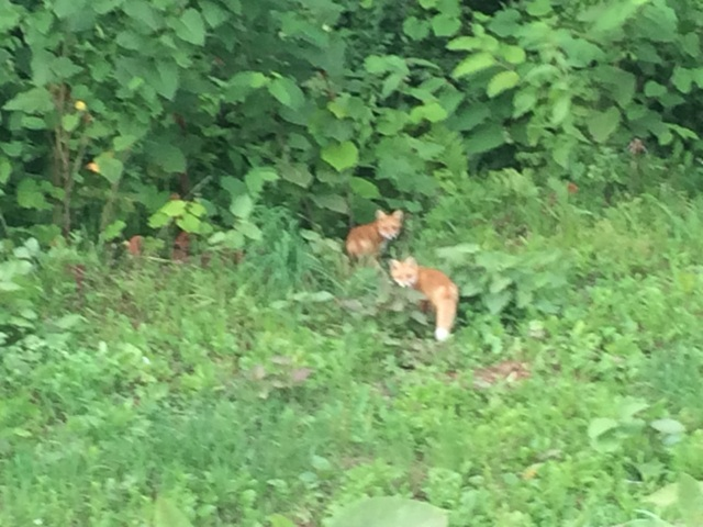 2016-0715-fox.jpg