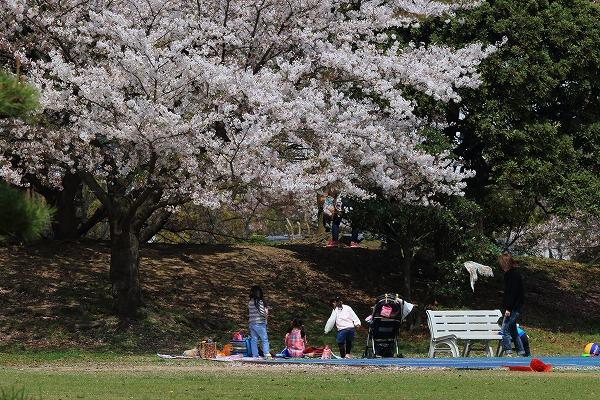 西条運動公園・桜 160411 05