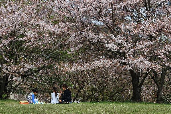 西条運動公園・桜 160411 04