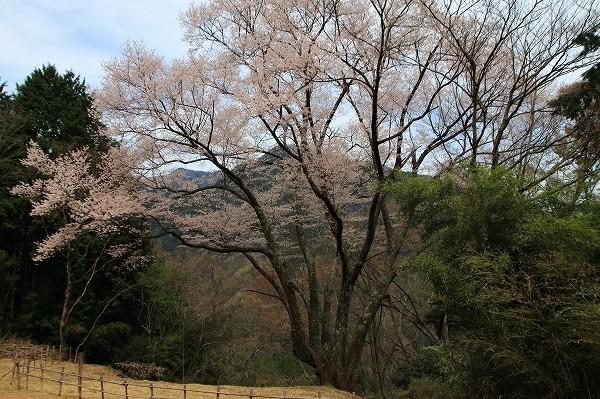 別子山・エドヒガン 160412 02