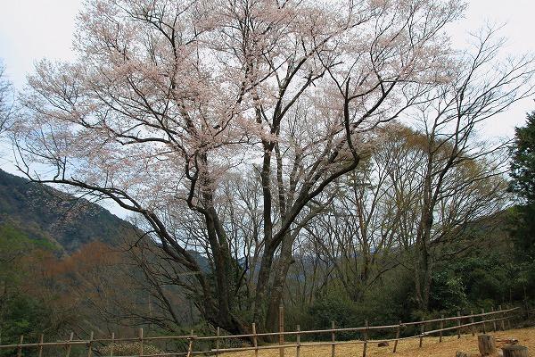 別子山・エドヒガン 160412 04