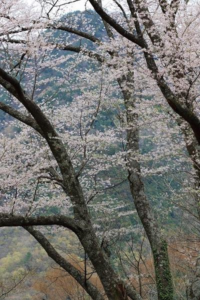 別子山・エドヒガン 160412 06