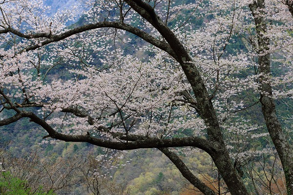 別子山・エドヒガン 160412 07