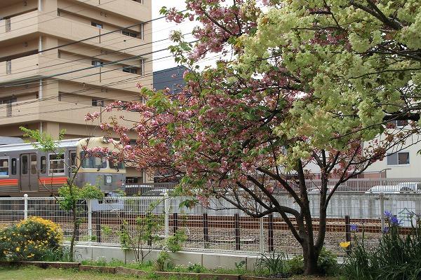松山教会・鬱金 160413 01