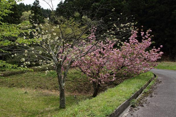 銚子ダム・御衣黄 160418 01