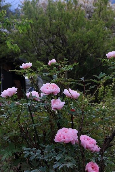 ぼたん茶屋牡丹 160419 01