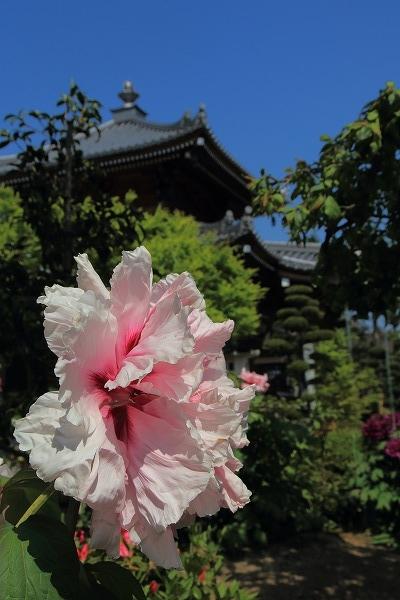 極楽寺・牡丹 160420 03
