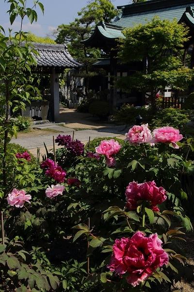 極楽寺・牡丹 160420 04