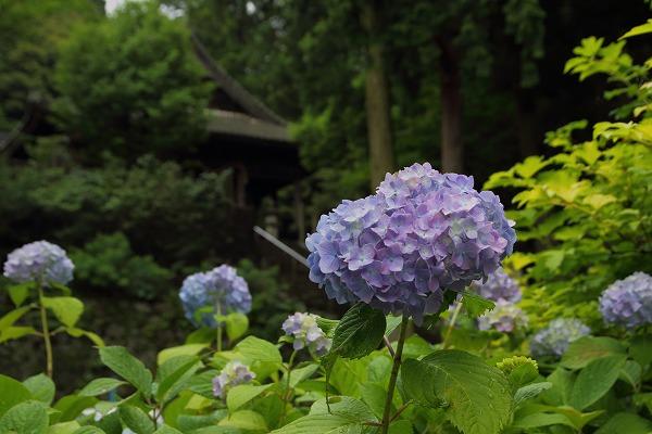 惣河内神社山紫陽花 160607 01